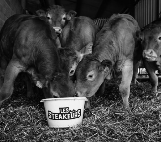 Cattle eating from a bucket